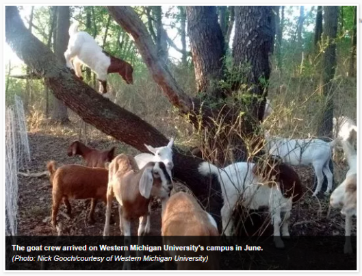 Tuesday Humor? Public Union Files Grievance Against Poison-Ivy-Eating Goats For Stealing Jobs
