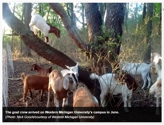 https://mishgea.files.wordpress.com/2017/07/goats.png?w=625